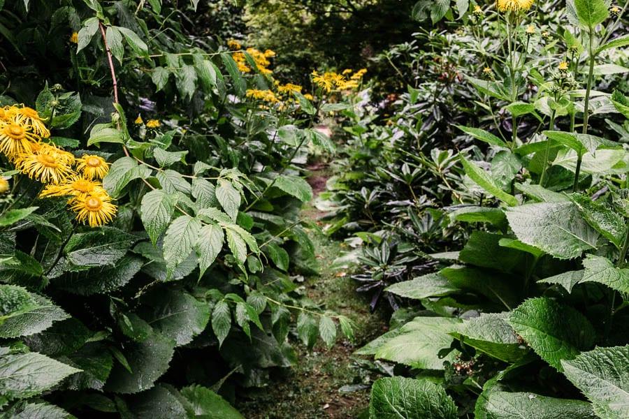 Yellow flower path Gravetye Manor