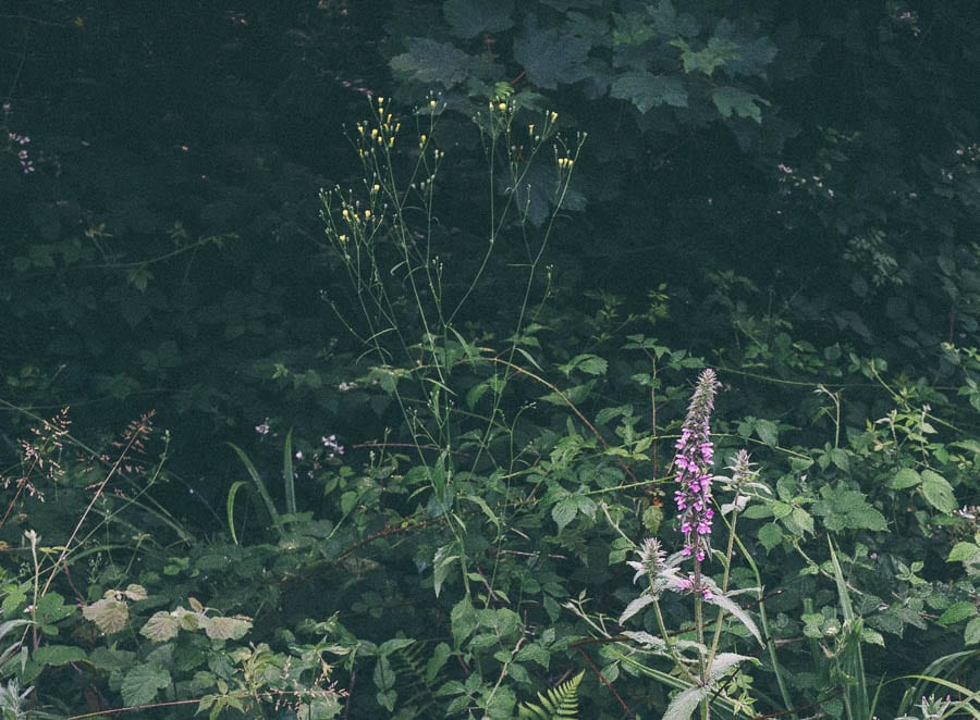 Hedge woundwort and wild flowers