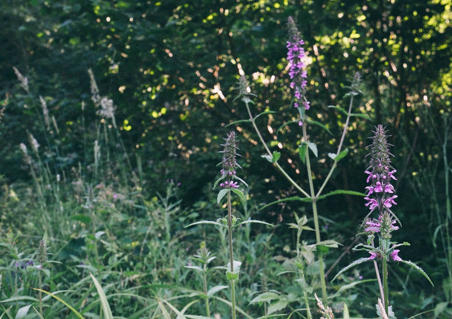 Hedge woundwort flowers