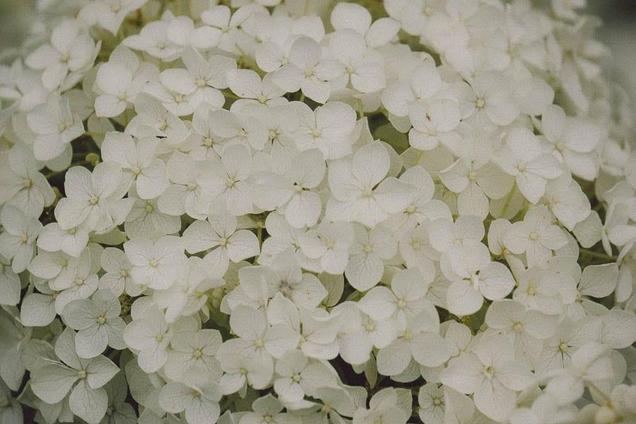 Close up white hydrangea