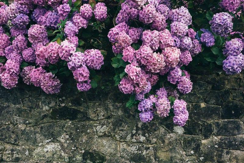 Hydrangea wall