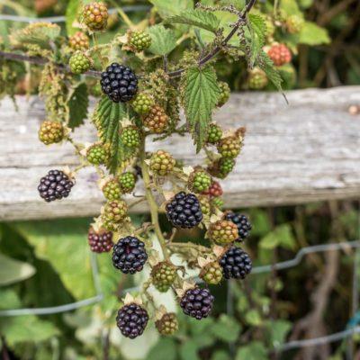 Blackberries galore – in our garden!
