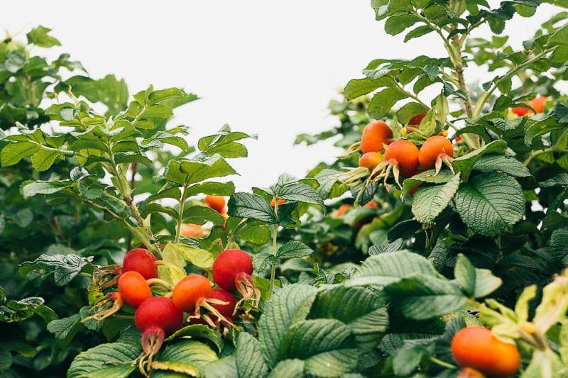 Rosehips in shrubs