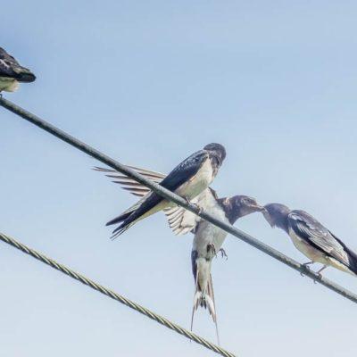 Swallow feeding