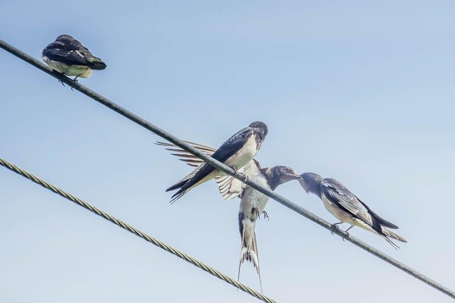 Swallow feeding fledgling