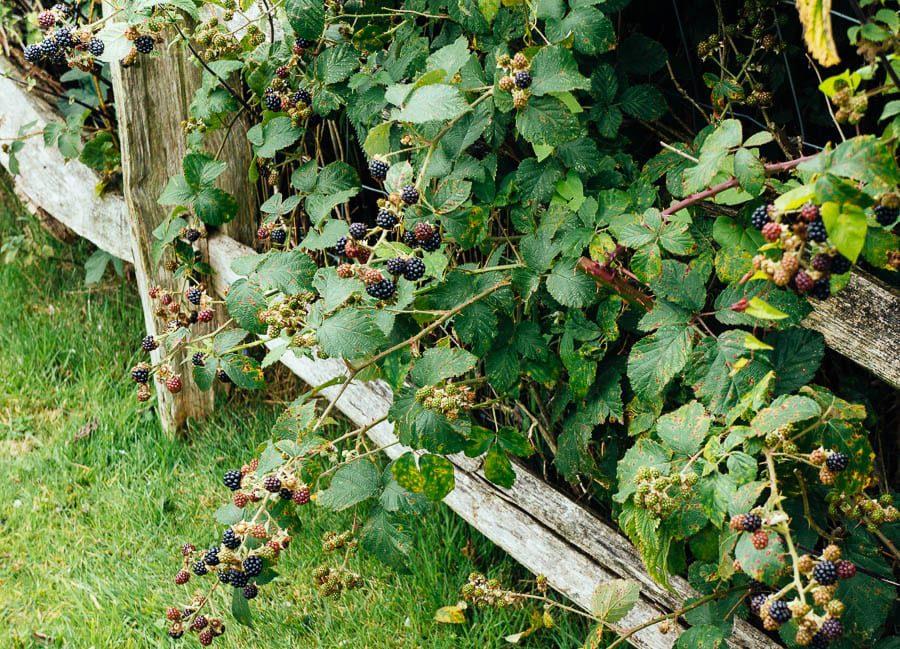 Blackberries under fence