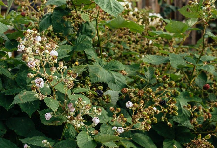 Bramble shrub covered in blackberries