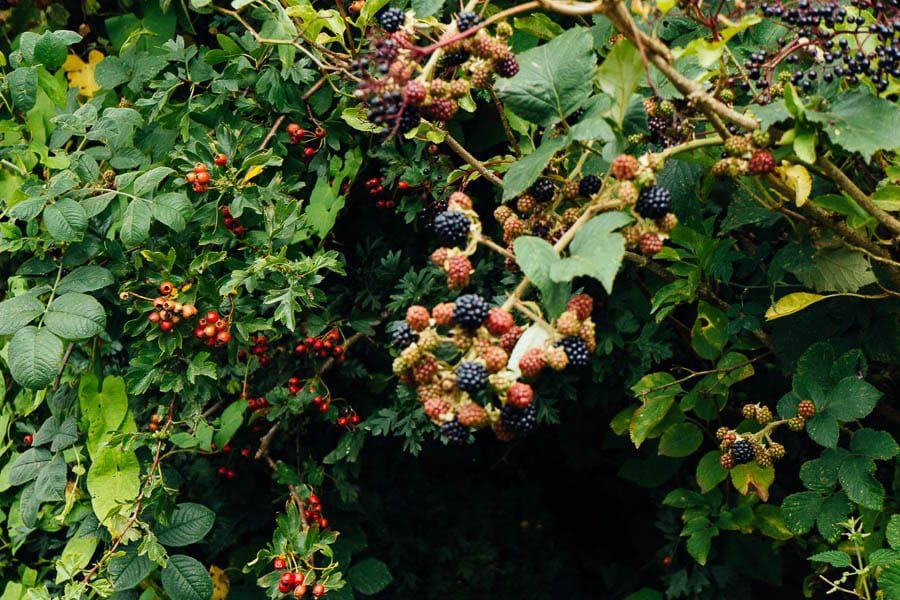 Blackerries and berries in hedge