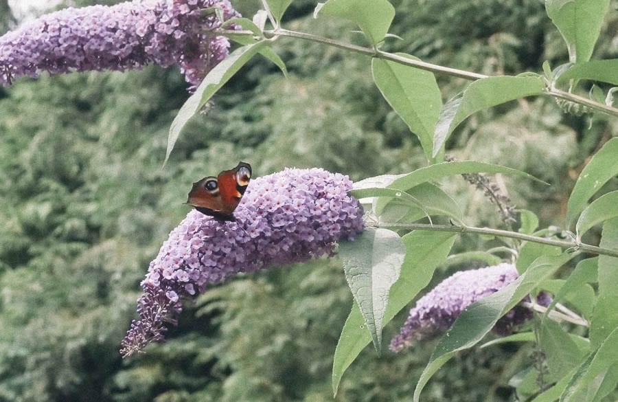 Butterfly and buddleja