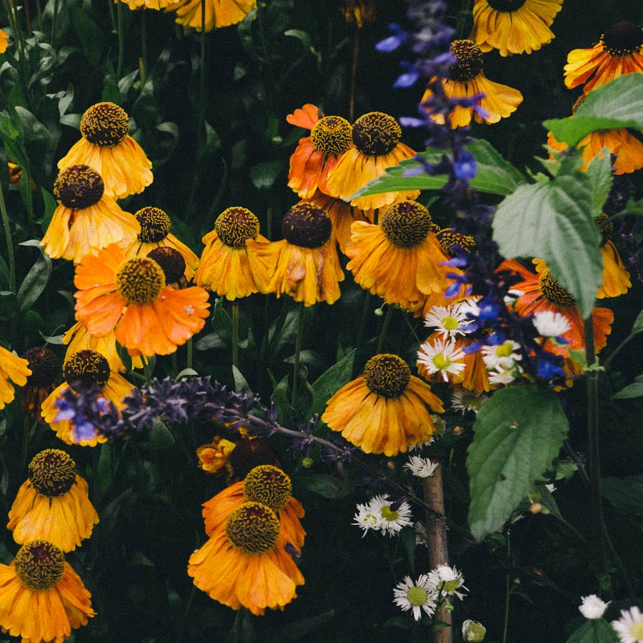 Helenium mixed in flower bed