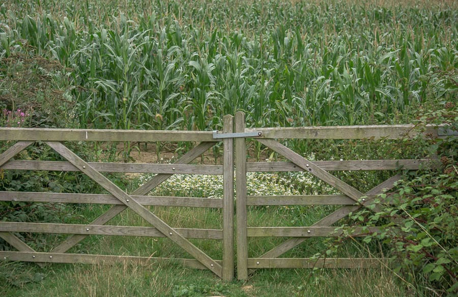 Corn and flowers behind gate