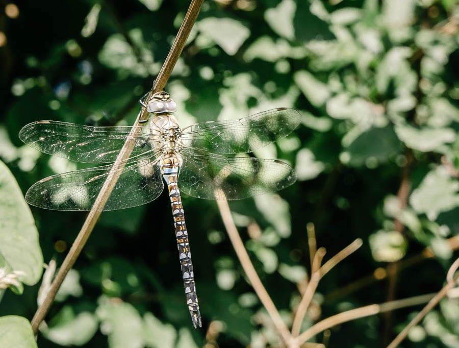 Dragonfly on leaf branch
