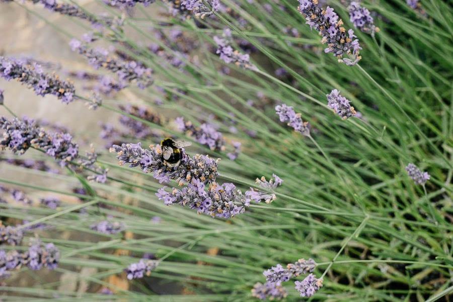 Lavendar bush with bee