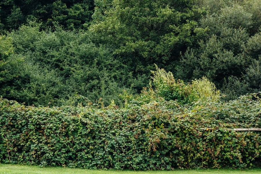 Long blackberry hedge in our garden