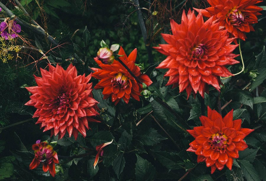 Red dahlias and raindrops