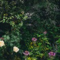 Roses and mixed border