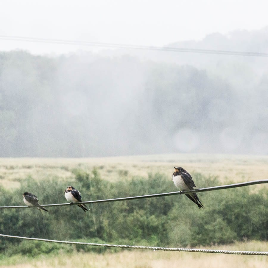 Swallows in thunderstorm