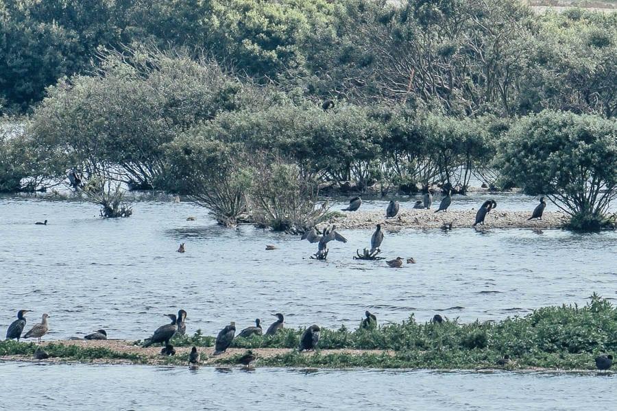 Cormorants RSPB Dungeness