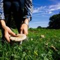 Cutting a parasol mushroom in a field