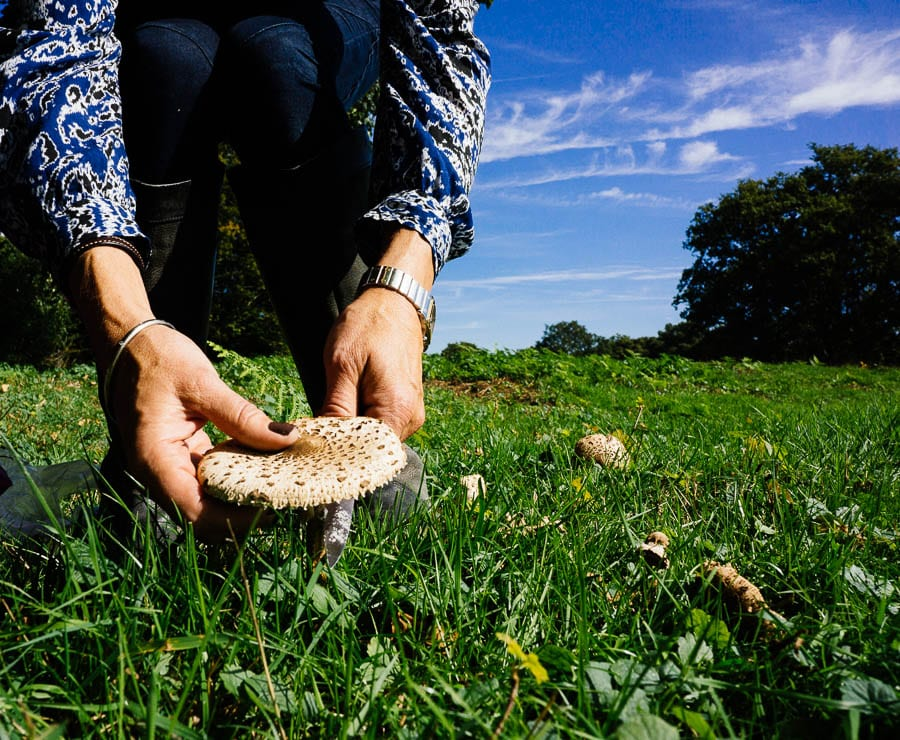 Cutting a parasol mushroom in a field