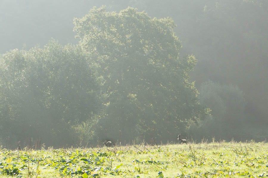 Deer running to hedgerow