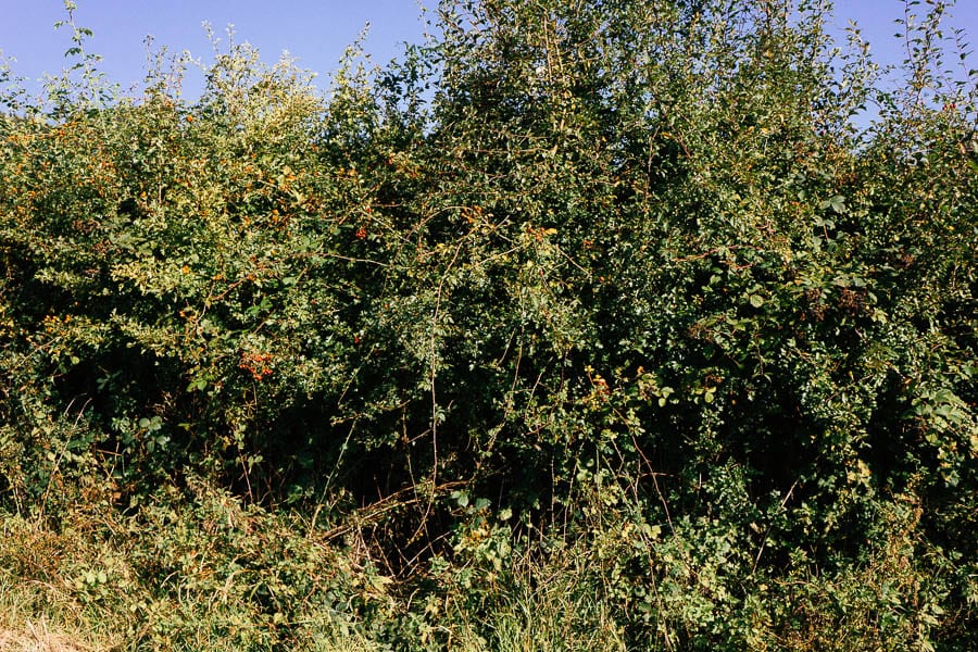Hedgerow with berries rose hips and more