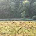 Herd of deer in valley in Sussex