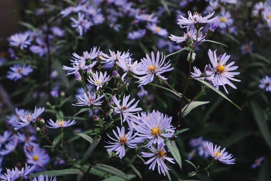 Lavender blue Aster