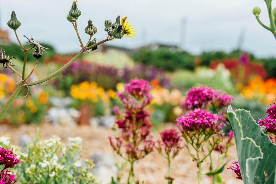 Derek Jarmans Garden wild flowers