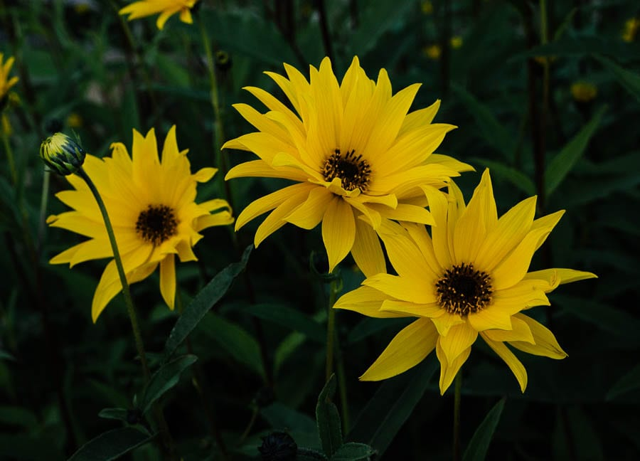 Helianthus flowers