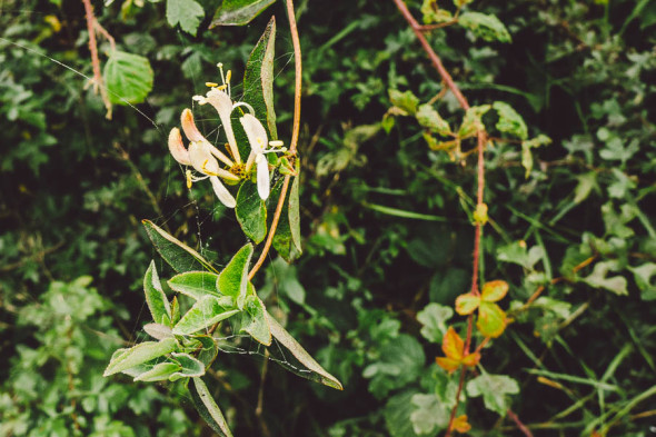 Honeysuckle and spiders web
