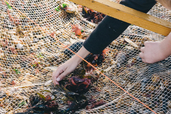 Shrimping in Kent hand in net