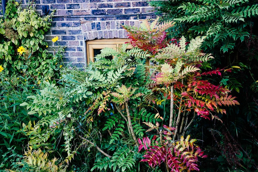 Yellow and red colours in wall shrubs