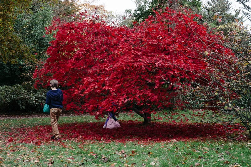 Autumn leaf colours collecting Japanese maple