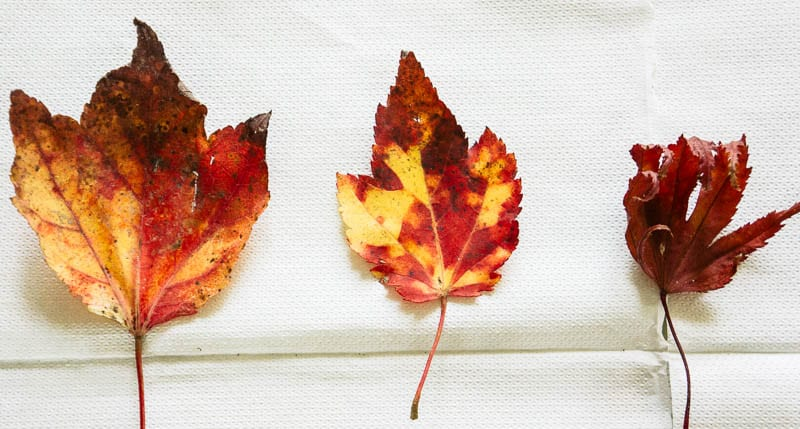 Autumn leaf colours collection orange red leaves