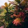 November Garden Mahonia x media
