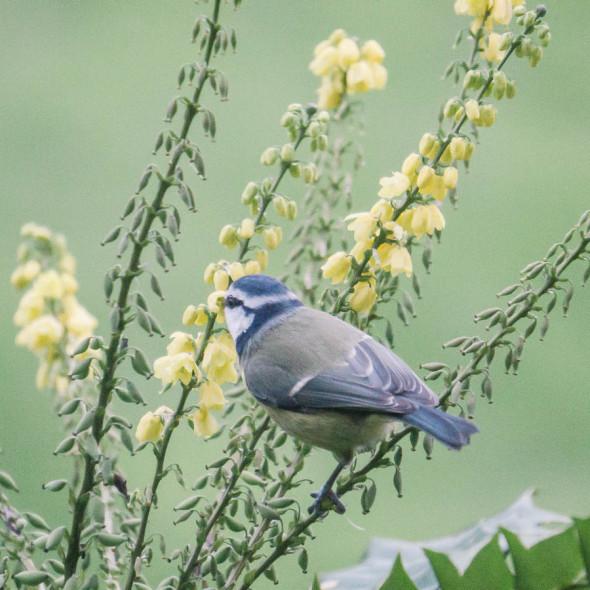 Blue tit eating nectar