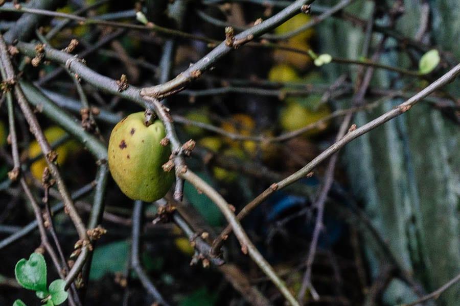 December garden Japanese quince