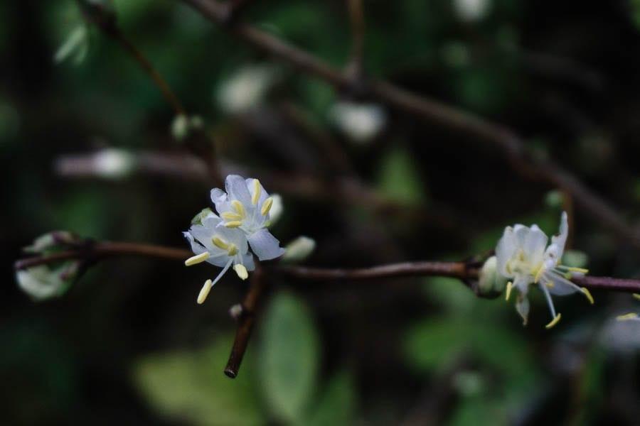 December garden honeysuckle shrub