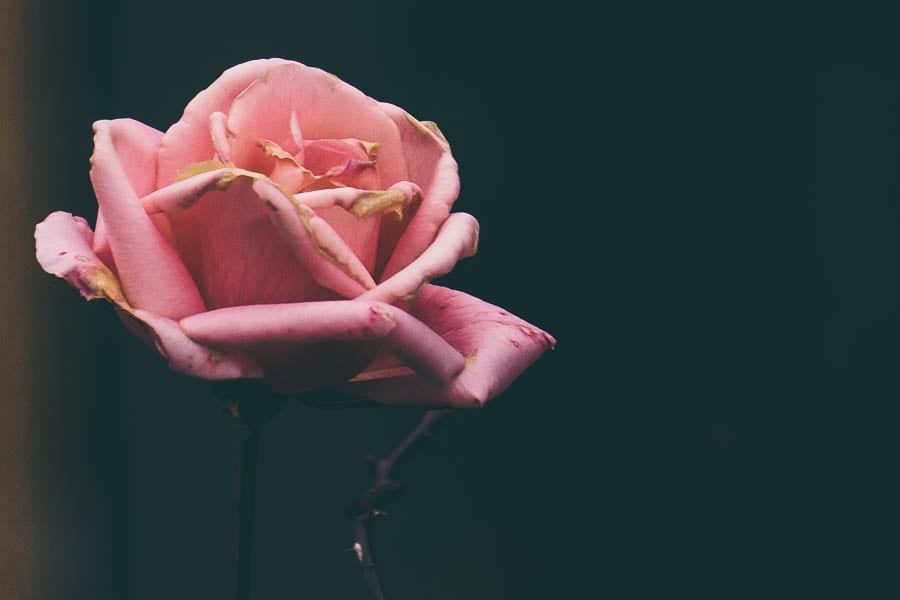 December garden pink rose flower