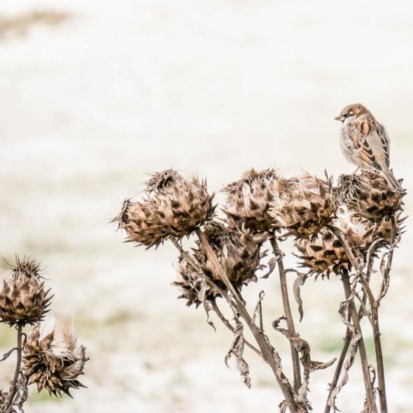 Sparrow on artichokes