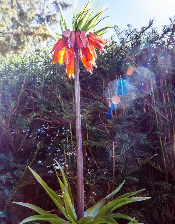 The Plant Hunters Fritillaria imperialis