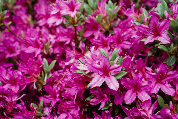The Plant Hunters Rhododendron