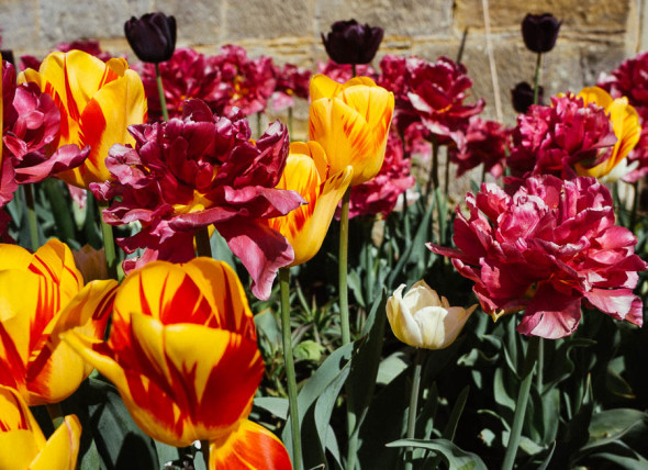 The Plant Hunters tulips