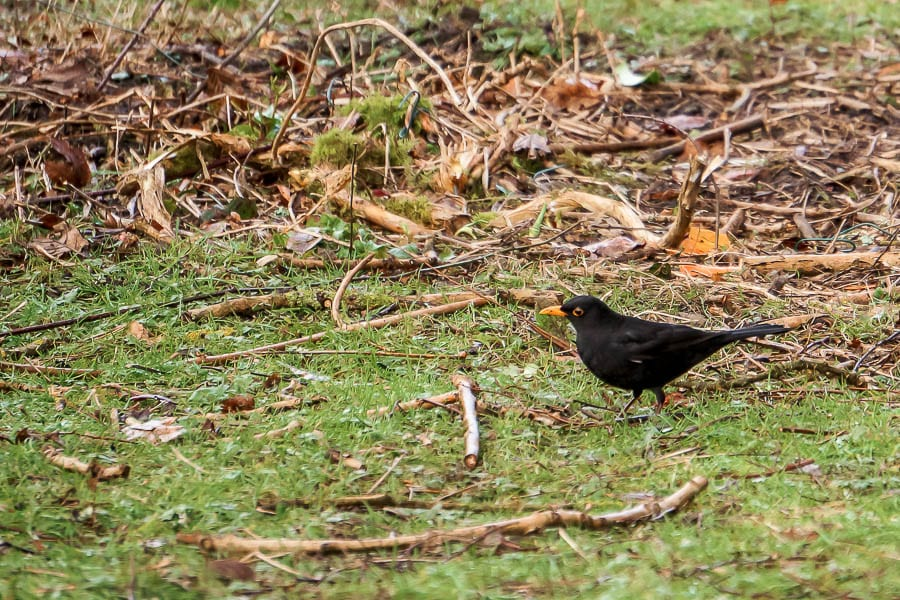 Big Garden Birdwatch Blackbird