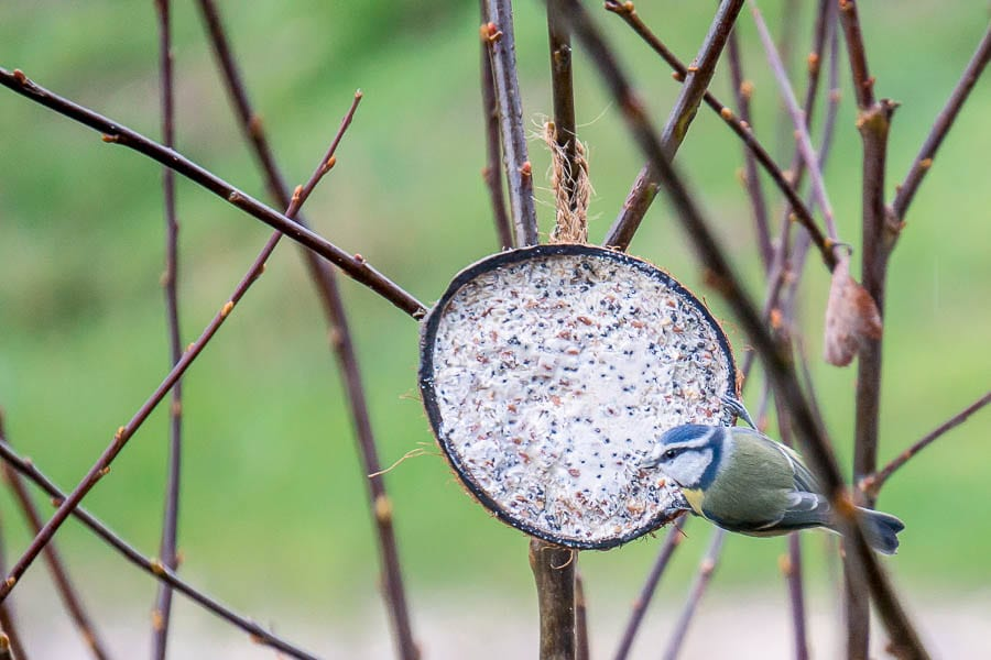 Blue tit and coconut feeder
