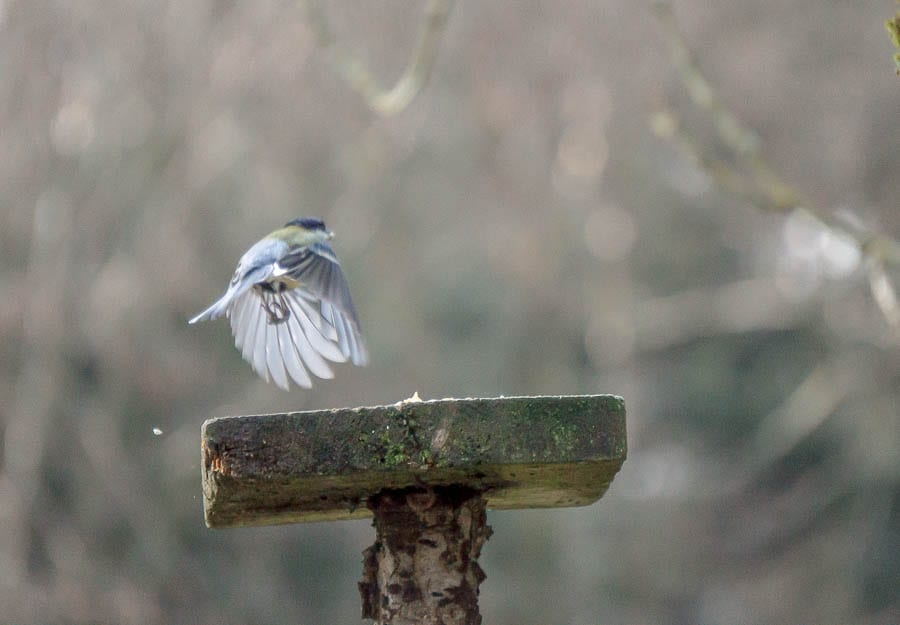 Blue tit landing on feeder