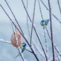 Blue tits on feeder in snow