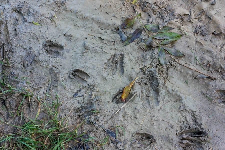 Casting animal tracks deer trail