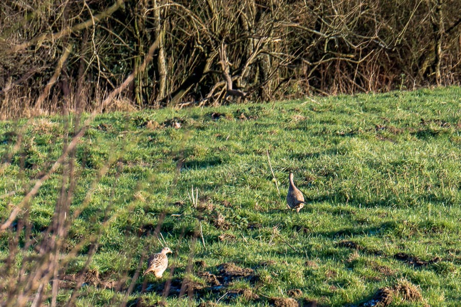 Casting animal tracks field with pheasants